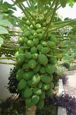 50Seeds New Dwarf Chinese Carica Papaya Pawpaw Sweet Fruit Seeds