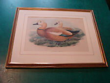 vintage ORIGINAL 1873 Framed Duck Litho: CASARCA RUTILA or Ruddy Shelduck