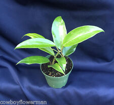 "HOYA THAI #5, LARGE LEAVES, 4"" POTS WITH 2 PLANTS PER POT! SHIPPED IN THE POT!"