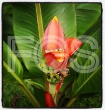 15 x Musa Ornate (Ornata) Pink Flower Fresh Banana Seeds