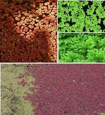 Moos Azolla filiculoides Teichdeko Dekoideen Deko Pflanzen für den Gartenteich