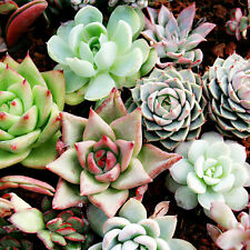 150pcs Mixed Succulent Seeds Lithops Living Stones Plants Cactus For Home Garden