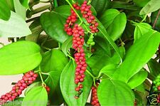 "Hybrid Black Pepper Variety "" Subhakara "" Piper nigerum - 1 plant from stems"