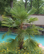 Hardy * Windmill Palm Tree Seeds * Makes A Great Houseplant Or Patio Plant *SALE