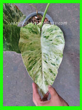 """Rare PHILODENDRON """"Elephant Ear Vareigated"""" Very Beautiful Leaf+Free Phyto !!"""