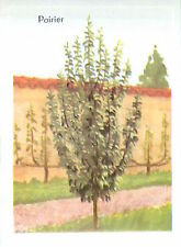 IMAGE CARD 60s Arbre fruitier Trees Poirier commun Pyrus communis European pear