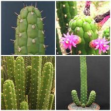 50 semi di Clistanthocereus samnensis ,piante grasse,seeds cactus