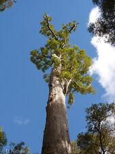 Jarrah Tree, Eucalyptus, Hardy tree, Bonsai/patio and statement tree! Giant tree