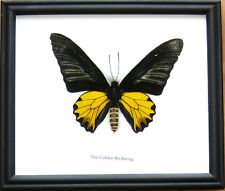 Golden Birdwing (M) Giant Butterfly Insect Display Taxidermy in Wood Frame Gift
