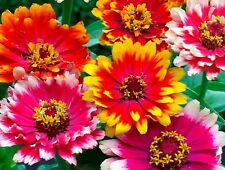 Zinnia- Carrousel Mix- 100 Seeds