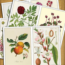 8 Vintage Victorian Botanical Illustrations Decoupage decal sticker