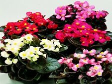 50 Pelleted Seeds Begonia Chocolates Sampler Mix BUY FLOWER SEEDS