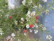 RARISSIMO !!!  5 semi di Asparagus Racemosus Shatavari - OFFICINALE - AYURVEDA