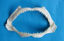 "8"" uncomon  SHARK  jaw  mouth teeth taxidermy jaws  Mix-744"