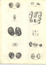 1854 Engravings Globose Bulla Siphonaria Fleshy Lobaria
