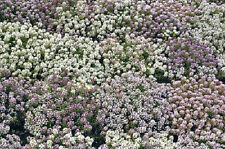 Alyssum Pastel Colors Nice in pots, for ground cover 150 Seeds Sweet Fragrance!