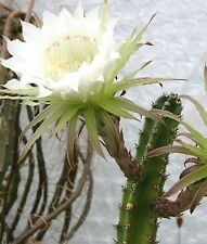 Harrisia jusbertii, night blooming cereus rare Eriocereus cactus seed - 15 SEEDS