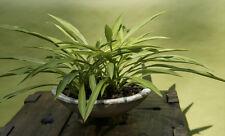 Hosta ' Longissima ' , grasähnliche Blattform,  schöne Rarität - ca. 25 cm