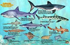 California Sharks & Rays Guide Laminated Fish Card by Franko Maps