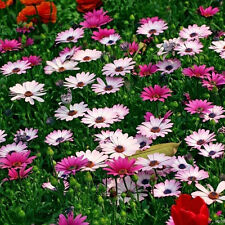 300PCS Gerbera Seeds Single Flowered Hybrids Mix all colors of the rainbow