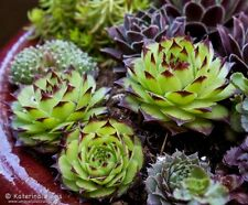 """ONE ROYANUM HEN  AND CHICK  SEMPERVIVUM ..ROOTED  1 1/2 -2"""" PLANT COLORFUL"""