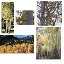 1 Quaking Aspen Tree - Larger/Older 30+inch, Fast Growing Hardwood, White Trunks
