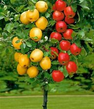 7 Seeds Bonsai Dwarf Apple Tree Easy to grow Seeds No Stratification