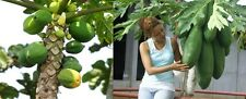Melonenbaum, Papaya, eigene Früchte,schnellwüchsig, EXOT,11 Samen, 11 seeds