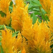 Celosia Yellow 50 Seeds  Garden Seeds 2u