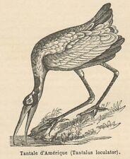 C8290 Tantalus loculator - Stampa antica - 1892 Engraving