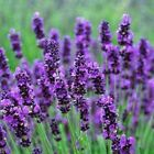 """*REDUCED PRICE* 10 x LAVENDER MIS SHAPED """"HIDCOTE"""" PLANTS- SPECIAL OFFER - L@@K"""