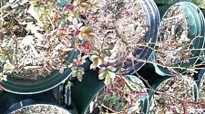 Rose Bush, Live Plants in Containers (Lot of 20 Potted plants for Local Pick Up)