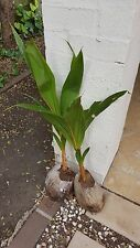 Coconut Malay Dwarf Plant (RARE, Amazing and Exotic)