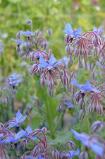 1OZ ORGANIC Borage ~ 1,200 Seeds WHOLESALE ~ Herbal Edible Blossoms  Oil Plant