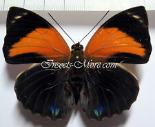 Agrias Pericles mauensis male * brasil *