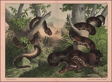 Boa Constrictor, Pit Viper Crotalus, Snakes, Fine Chromolithograph, Original1887