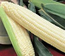 100  Seeds   Silver king  sweet corn  new seed for 2017 Non-Gmo Hybrid Seeds