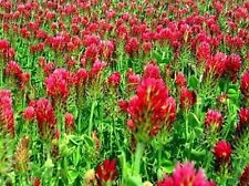 5 LB Crimson Red Clover Clover Seeds Food Plot Cover Crop  Pasture Hay