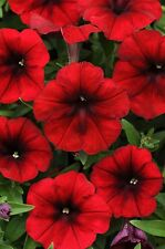 Easy Wave Red Velour Petunia, Spreading/Trailing, (15) Live Plants Plugs