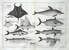 FLYING FISH, BONITO,  PORPOISE, CATFISH, Kip original antique fish print 1732