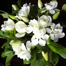 100pcs Fragrant Gardenia Jasminiodes White Shrub Flower Seeds Plant Garden
