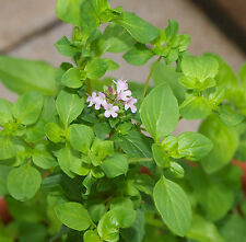 OREGANO HERB SEEDS - GREEK - BULK