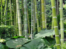 Bambou Moso Geant - PHYLLOSTACHYS PUBESCENS - 7 Graines