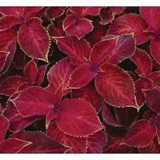 50+ COLEUS WIZARD SCARLET SHADE LOVING FLOWER SEEDS / ANNUAL /GREAT GIFT