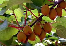 Wohlschmeckende Früchte für den Garten : Winterharte chinesische Kiwi - Saatgut