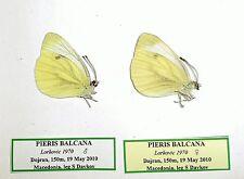 PIERIS BALCANA*pair*MACEDONIA (unmounted pair)