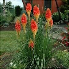 Red Hot Poker -(Kniphofia Uvaria)- 50 seeds
