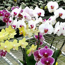 10Pcs Mix Color Phalaenopsis Flower Seeds Bonsai Plant Butterfly Orchid Garden