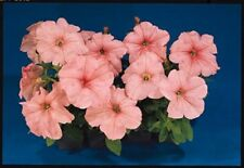 50 Pelleted Super Cascade Salmon Petunia Seeds Supercascade Petunia