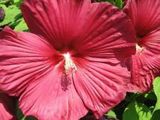Luna Red Hibiscus Seeds-Huge Flowers,Blooms all Summer, Easy2Grow